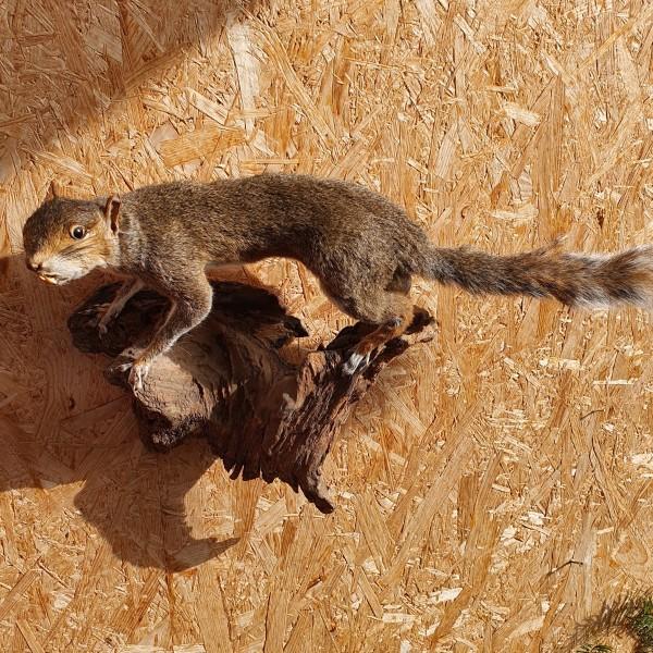 Amerikanisches Eichhörnchen