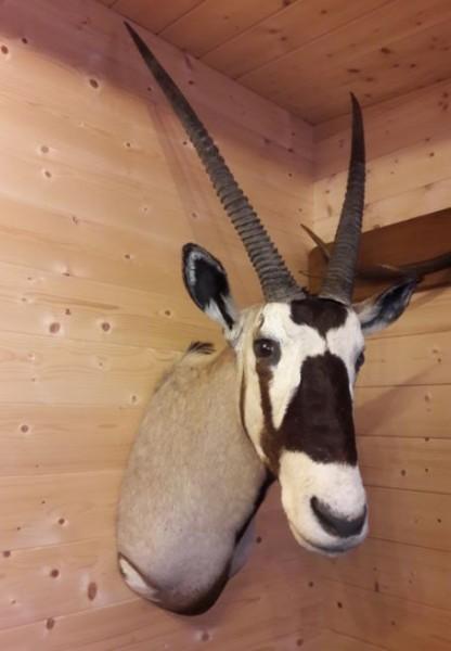 Oryx Kopfschulterpräparat