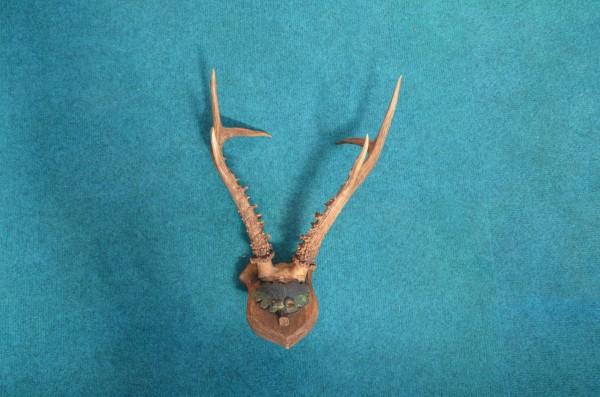 sibirische Rehtrophäe