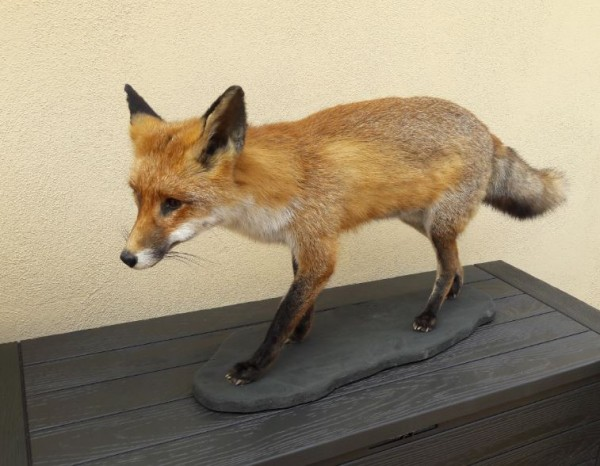Fuchs schnürend