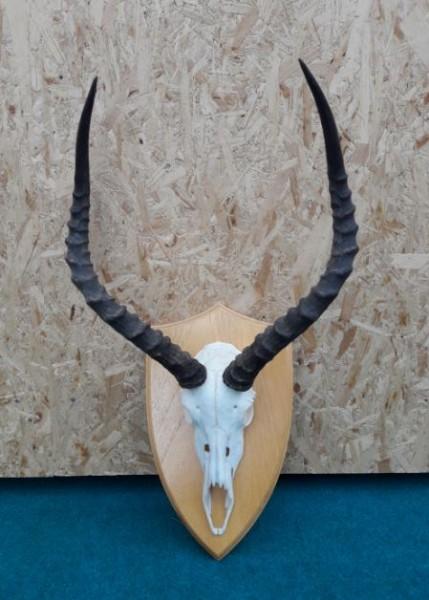 Impala Trophäe